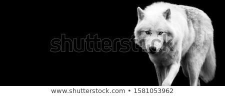 Vadállat sarkköri fehér farkas arc erdő Stock fotó © OleksandrO