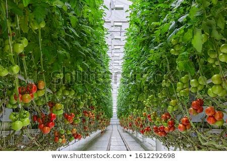 Tomates été soleil rouge Cook manger Photo stock © suerob