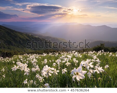 Glade witte bloemen bergen zomer landschap Stockfoto © Kotenko