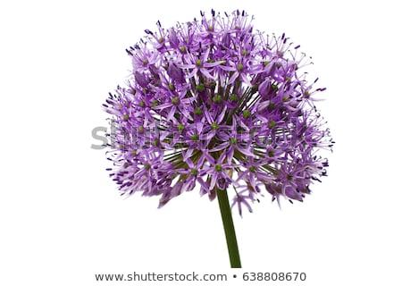 Stock photo: Close up of Purple Allium flower