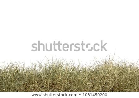 Dry grass field Stock photo © igabriela