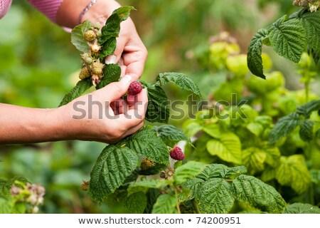 mature woman picking raspberries Stock photo © IS2