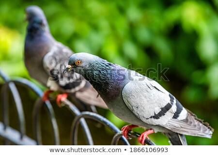 Pigeon perched on a fence Stock photo © IS2