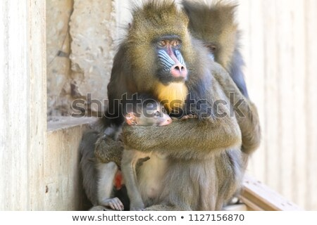 Mandrill Mom protecting her baby Stock photo © yhelfman