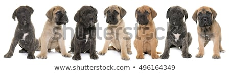 子犬 牛 マスチフ ペット ストックフォト © cynoclub