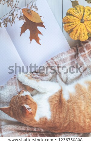 Czerwony biały kot spać dynia Zdjęcia stock © artsvitlyna