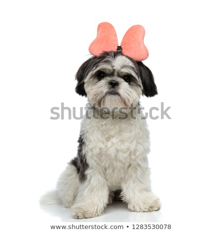 cute shih tzu wearing pink ribbon headband sitting Stock photo © feedough