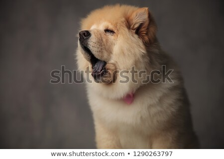 tried chow chow wearing pink bowtie looks to side Stock photo © feedough