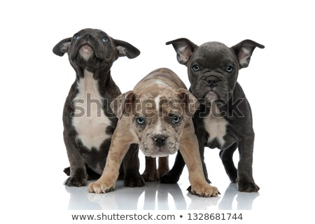 3 American bully dogs looking up curious and being aggressive Stock photo © feedough