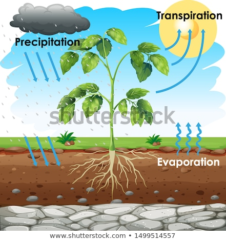 Diagram showing transpiration with plant in garden Stock photo © bluering