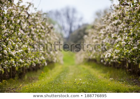 Blooming apple tree flowers in spring garden as beautiful nature landscape, plantation and agricultu Stock photo © Anneleven
