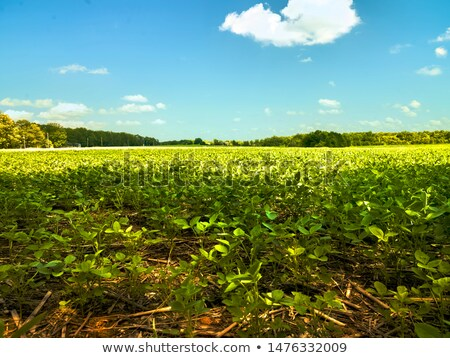 newly harvested soybeans Stock photo © luiscar