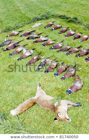 Stock photo: excludes of caught fox