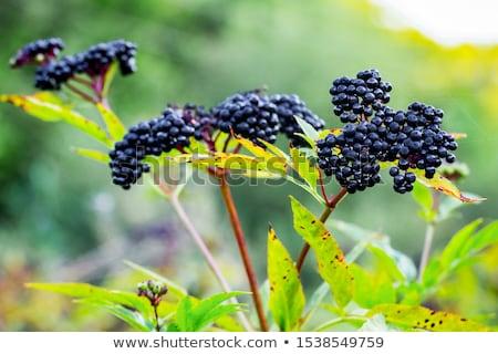 Ripe elderberry on bush Stock photo © Arrxxx