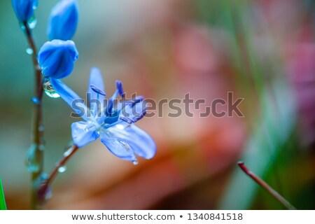 legno · perenne · cresciuto · blu · fiori · presto - foto d'archivio © arsgera