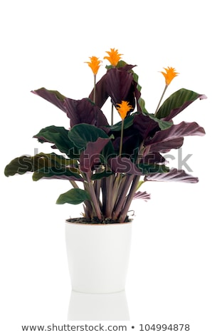 Eternal Flame Flower Calathea Crocata Foto stock © homydesign