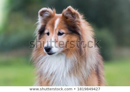 çoban köpeği güzel yalıtılmış beyaz köpek arka plan Stok fotoğraf © eriklam