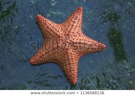 Orange Starfish Stock photo © emattil