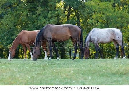 Paarden bos mooie paard licht veld Stockfoto © justinb