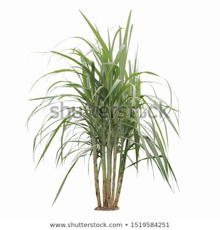 cukornád · aratás · trópusi · Queensland · Ausztrália · munka - stock fotó © ozaiachin