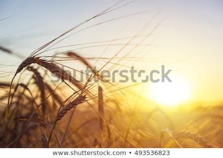 farmland summer landscape nature scene Stock photo © goce