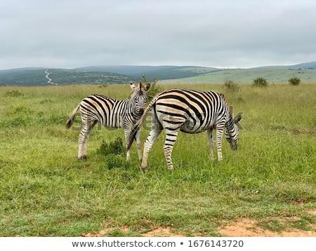 Zèbre cheval animaux africaine Safari Tanzanie Photo stock © arturasker