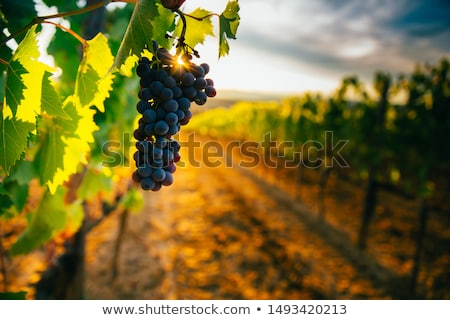 sunset on a vineyard stock photo © xedos45