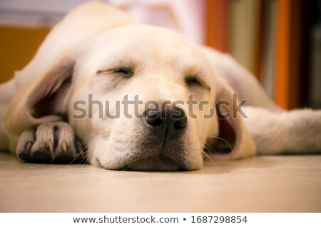 labrador retriever puppy dog looking very tired stock photo © feedough