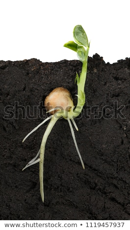 Single germinated pea seed sprouting stock photo © sarahdoow