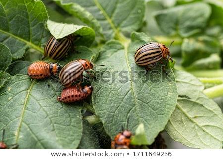 Krumpli bogár makró levél természet mező Stock fotó © badmanproduction