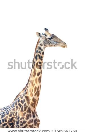 giraffen · twee · mannelijke · boom · natuur · mond - stockfoto © TanArt