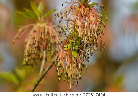 Manitoba Maple Seeds Stock photo © rghenry