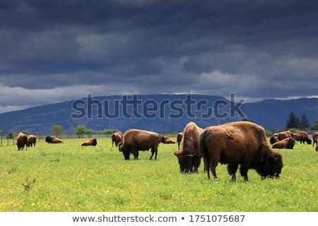 ビッグ · 牛 · フィールド · 食べ · 草 · 花 - ストックフォト © stoonn