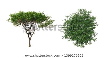 acacia isolated Stock photo © ongap