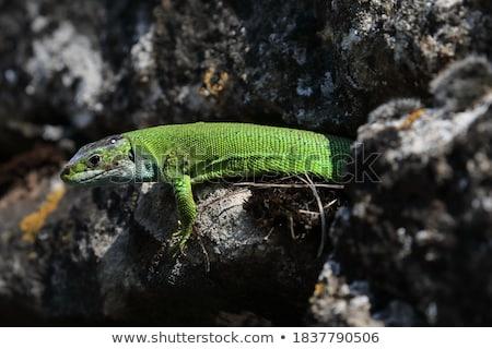 黄色 緑 トカゲ 石 美 手のひら ストックフォト © master1305