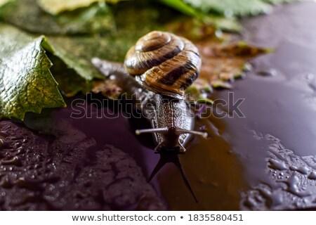 Snail on dark surface Stock photo © tilo