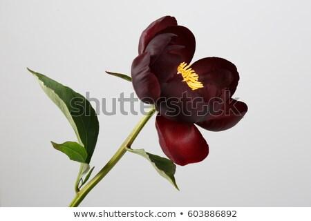 Burgundy lily stock photo © GeniusKp