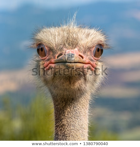Autruche tête regarder vers l'avant faune zoo Photo stock © Klinker