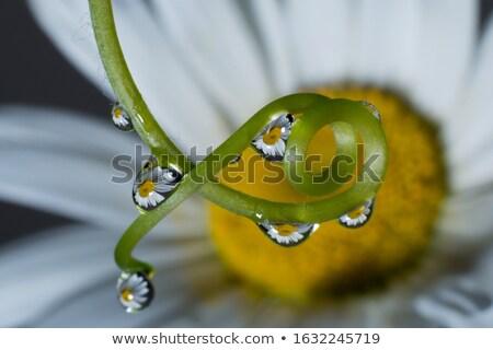 Waterdrops on Phalaenopsis Orchid Stock photo © mroz