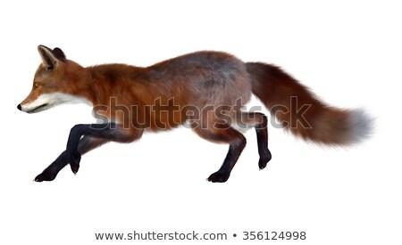 красный Fox работает 3d визуализации изолированный белый Сток-фото © Elenarts