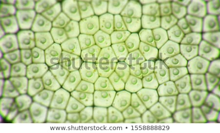 Chloroplast Stock photo © bluering