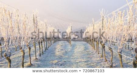 виноградник зима Blue Sky горизонтальный изображение дерево Сток-фото © Koufax73