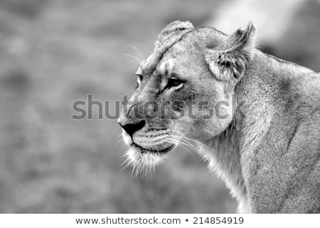 Side profile of a Lioness in black and white. Stock photo © simoneeman
