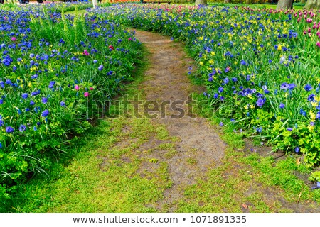 Nárciszok sáv növekvő virágok közelkép virág Stock fotó © neirfy