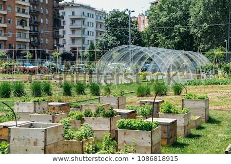 Városi gazdálkodás zöld zöldségek város étel Stock fotó © azamshah72