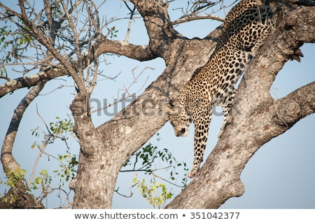 jumping leopard in the kruger national park south africa stock photo © simoneeman