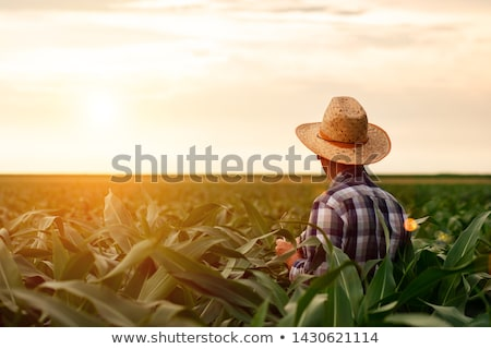kukorica · mező · farm · növekvő · kék · ég · égbolt - stock fotó © stevanovicigor