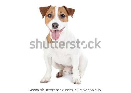 Kicsi jack russell terrier ül fehér kutya jókedv Stock fotó © master1305
