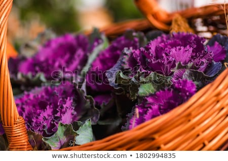 свежие · фиолетовый · капуста · завода · листьев - Сток-фото © lana_m