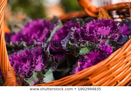 Ornamental cabbage or Brassica oleracea Stock photo © Lana_M